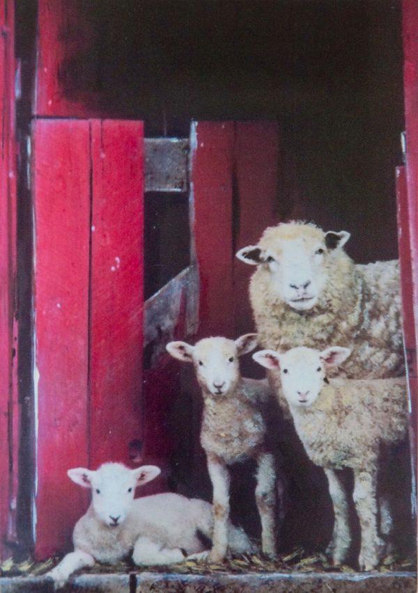 Peek A Ewe - Greeting Card