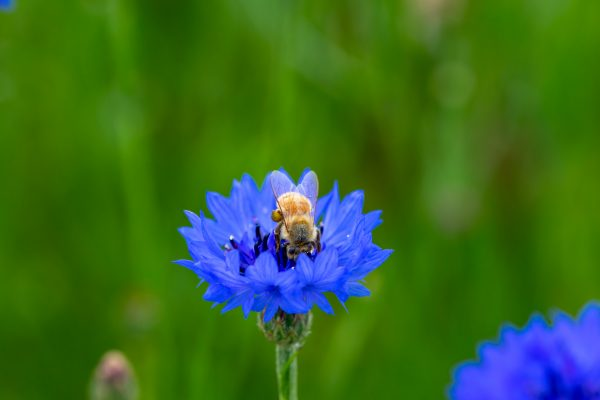 Irish Wildflower Seedbomb Gift Box - bee on corn flower