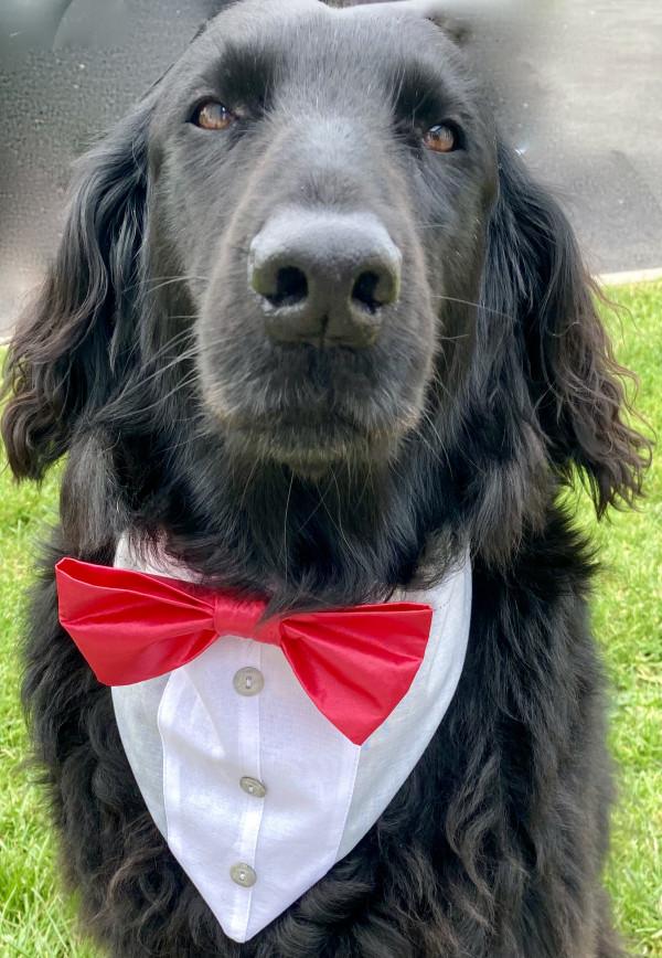 Reversible Tuxedo Dog Bandana - Grey and Black - IMG 6023