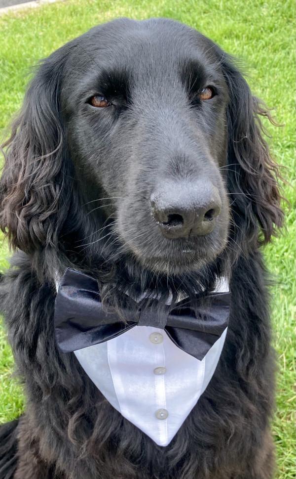 Reversible Tuxedo Dog Bandana