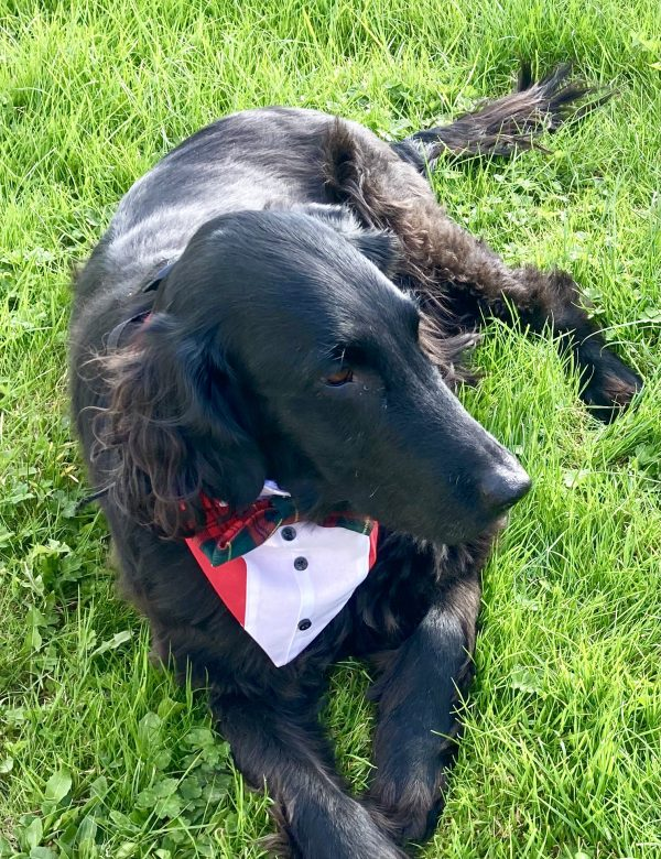 Reversible Tuxedo Dog Bandana, Tartan/Red - IMG 6133